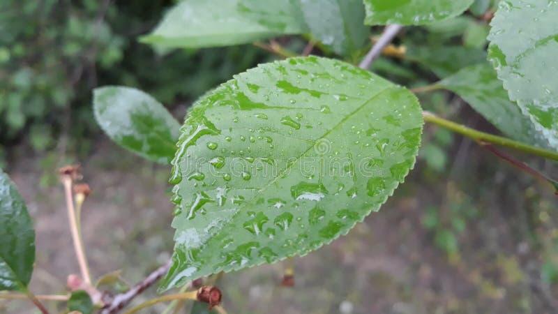 植物的叶子在雨以后的 库存照片