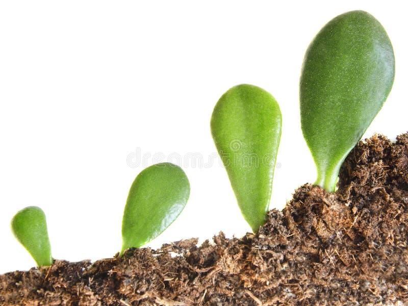 植物的四个新芽在白色被隔绝的背景的土壤增长 库存图片