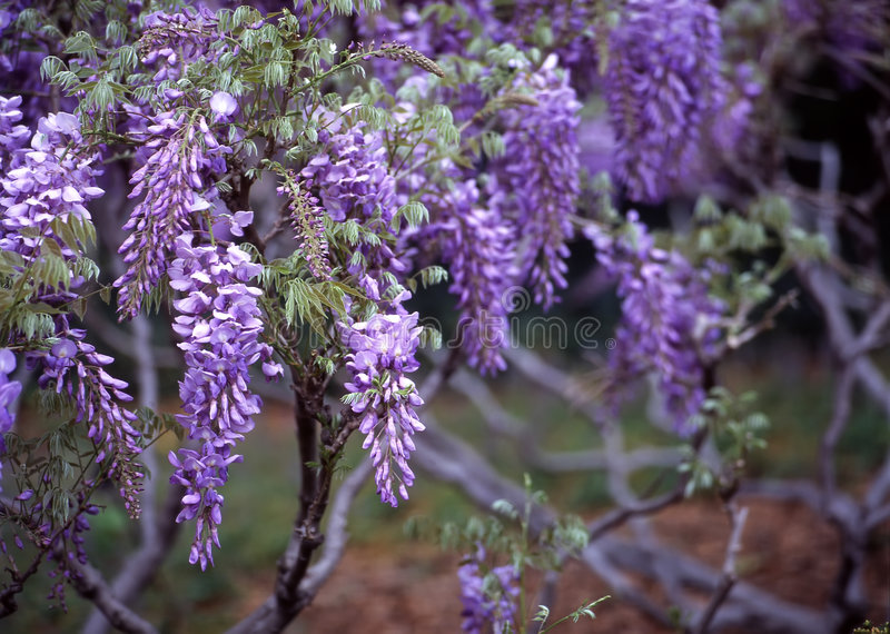 植物的布鲁克林庭院紫藤 库存照片