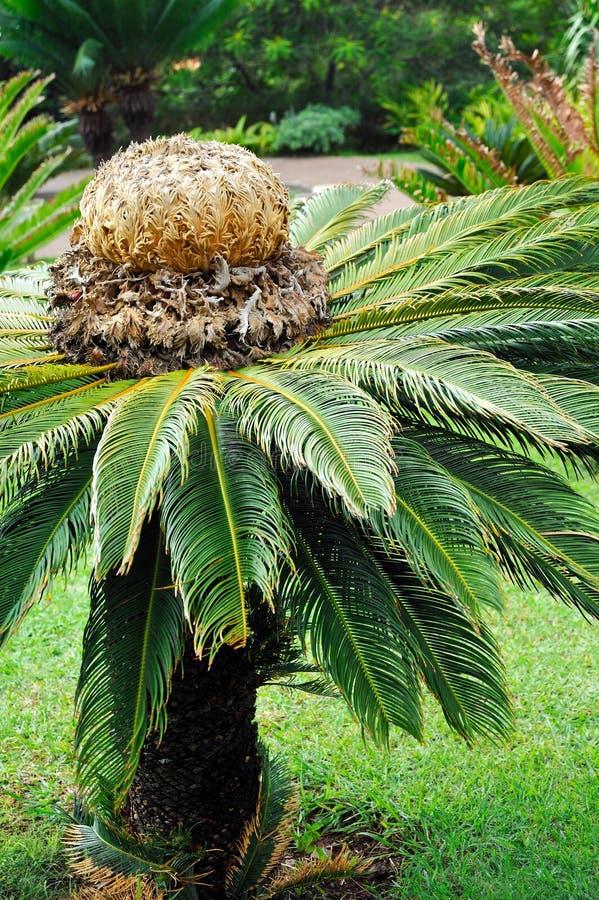 植物的苏铁科的植物苏铁属乐趣庭院re 免版税库存图片