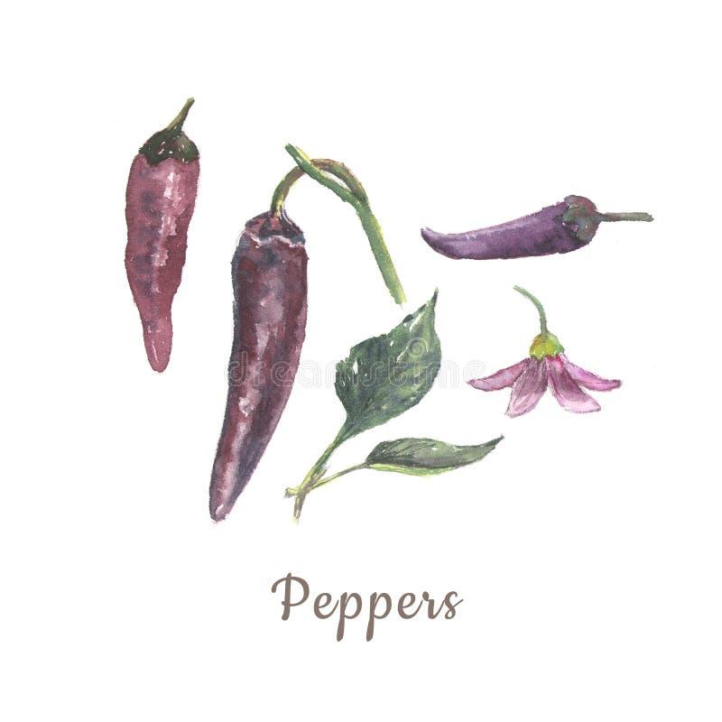 植物的水彩例证在白色背景和菜的隔绝的胡椒集合、花、叶子 库存例证