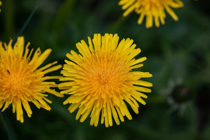 植物群花染黄领域庭院蒲公英自然四季不断的杂草 免版税图库摄影
