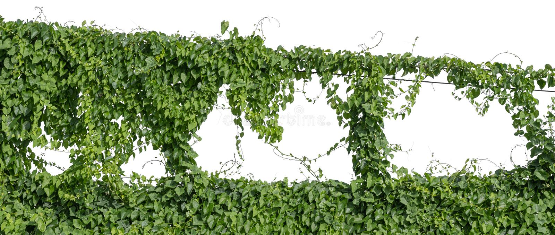 植物藤绿色常春藤离开垂悬的回归线,在白色背景隔绝的上升 r 免版税库存照片