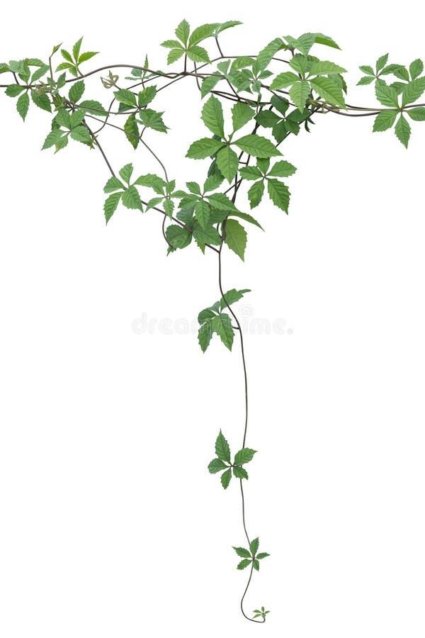 植物藤绿色常春藤离开垂悬的回归线,在白色背景隔绝的上升 r 库存照片