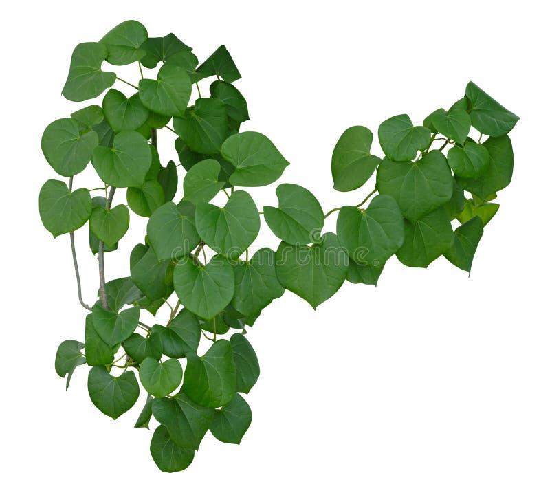 植物藤绿色常春藤离开垂悬的回归线,在白色背景隔绝的上升 r 图库摄影