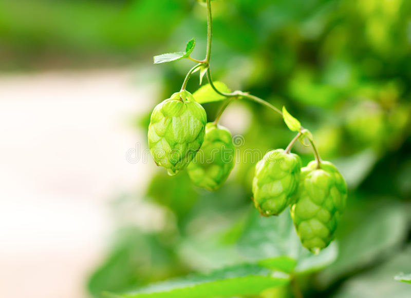 植物蛇麻草 库存图片