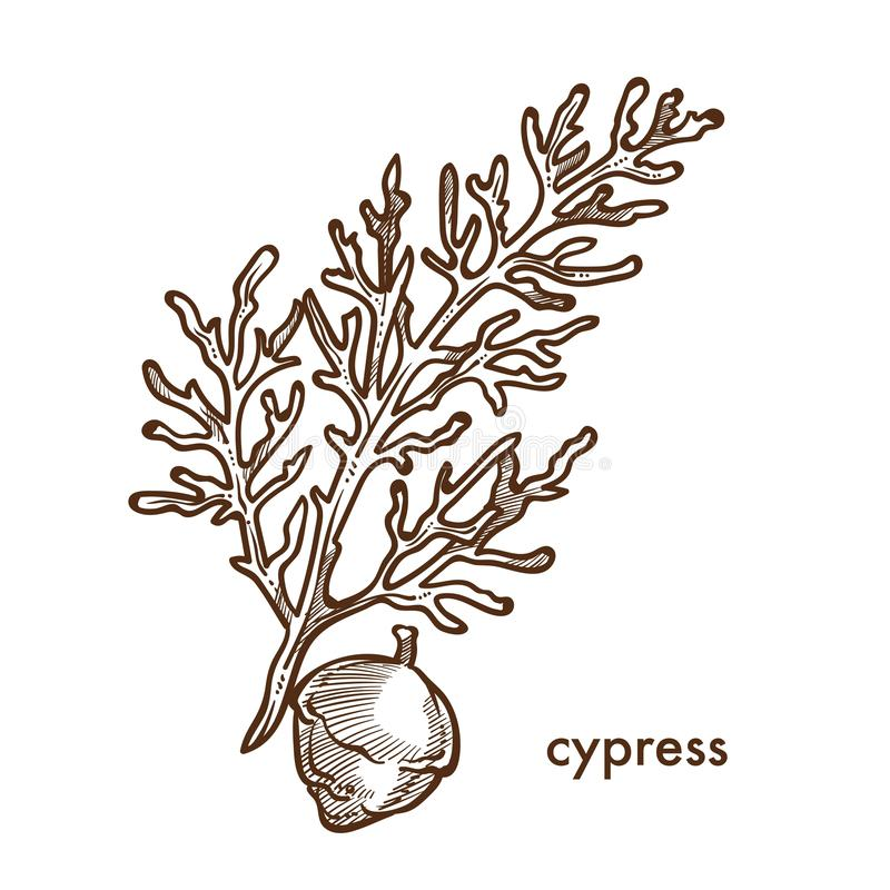植物赛普里斯分支有叶子和莓果的 皇族释放例证