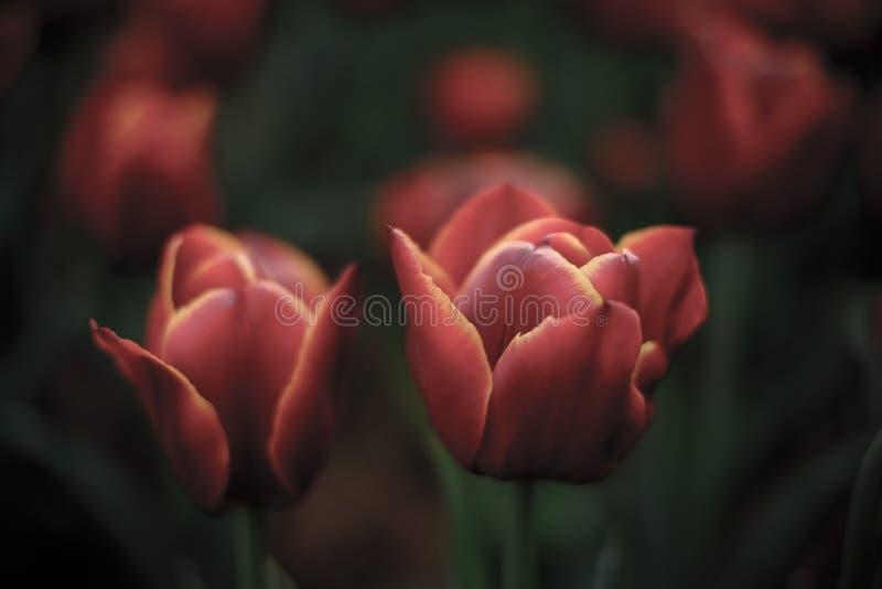 植物:开花的葡萄酒红郁金香 库存照片