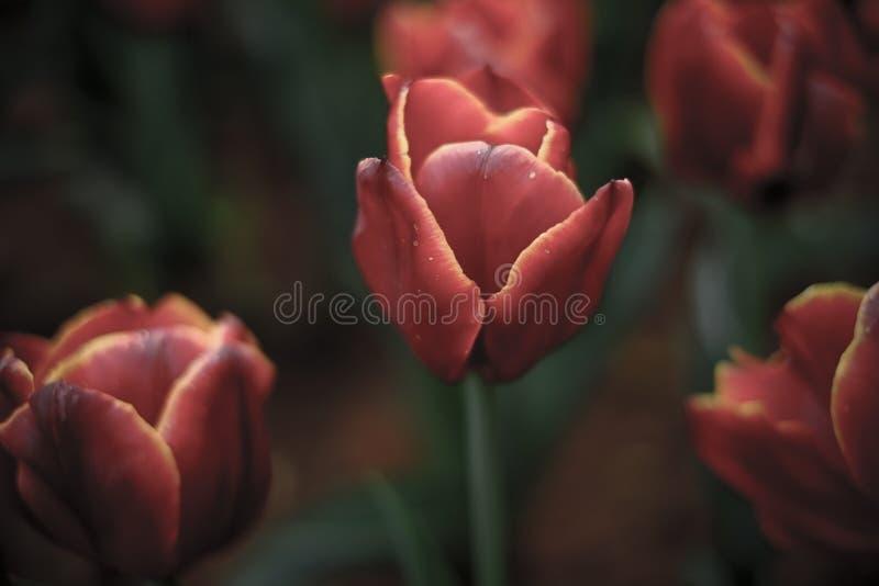植物:开花的葡萄酒红郁金香 免版税库存图片