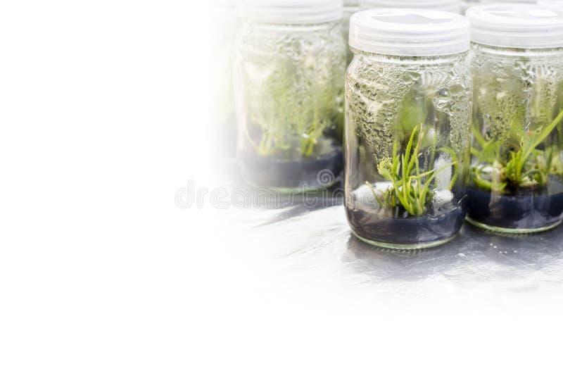 植物组织培养 图库摄影