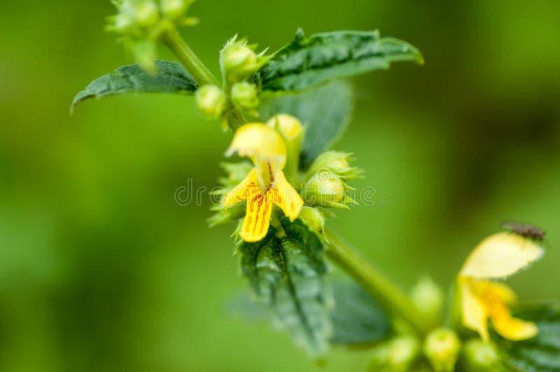 植物画象黄色天使 免版税库存照片