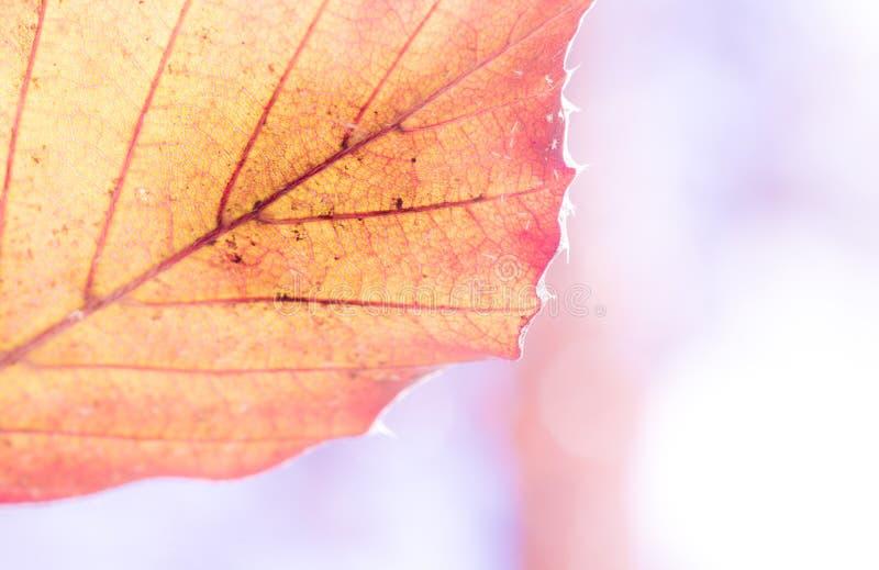 植物petrea的一片绿色叶子的纹理,详述,特写镜头,超级宏指令,被弄脏 库存照片