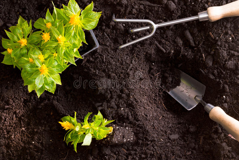移植的黄色鸡冠花花在庭院里 免版税库存照片