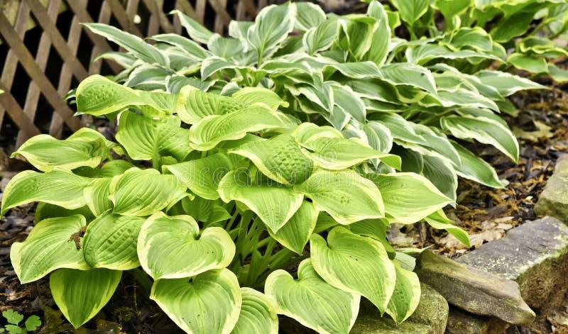 植被,玉簪属植物,多样化,宽容的树荫 免版税库存照片