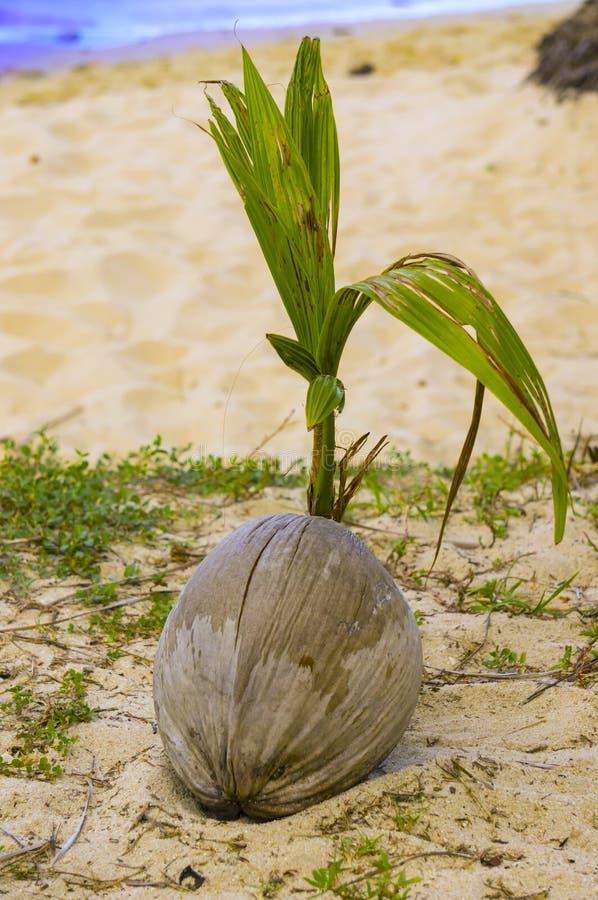 椰子发芽在海滩 库存照片