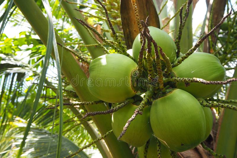 椰子在椰子饮料的泰国 免版税图库摄影