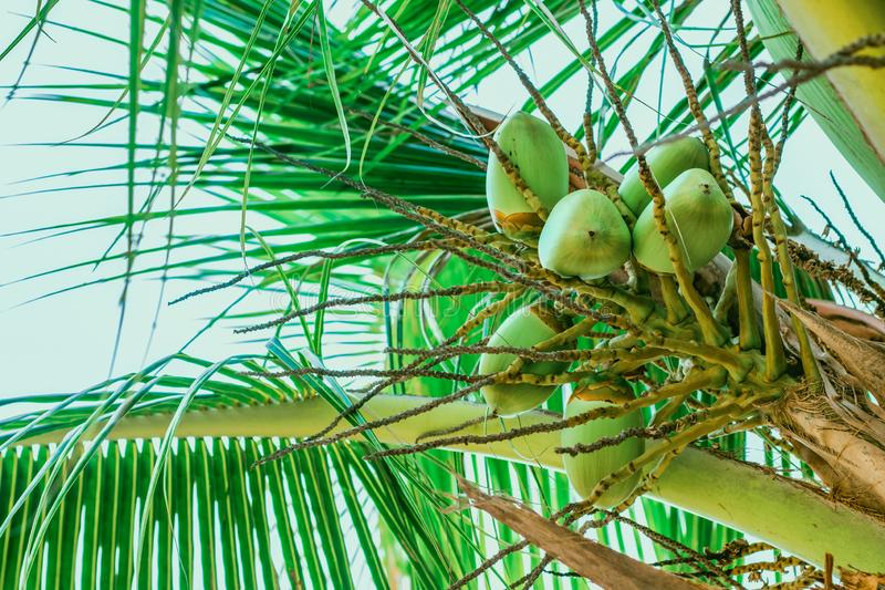 椰子年轻果子在棕榈的 图库摄影