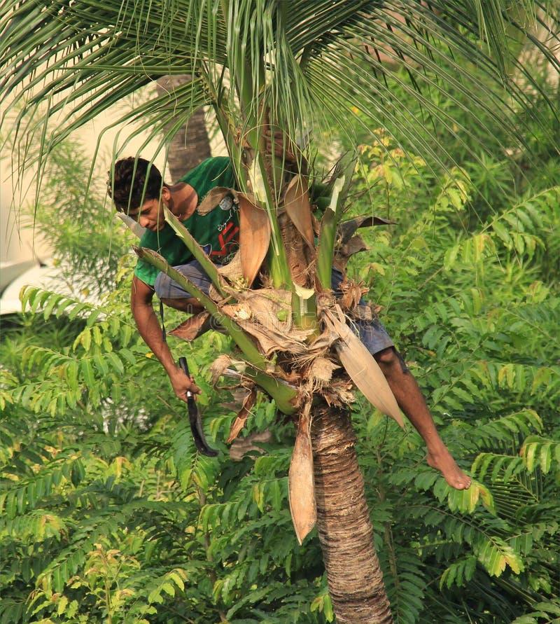 椰子拔毛工 图库摄影