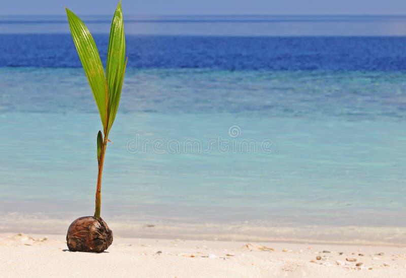 椰子新芽 免版税库存图片