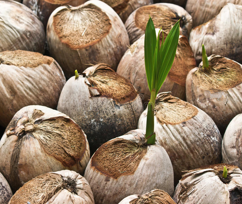 椰子新芽 免版税库存照片