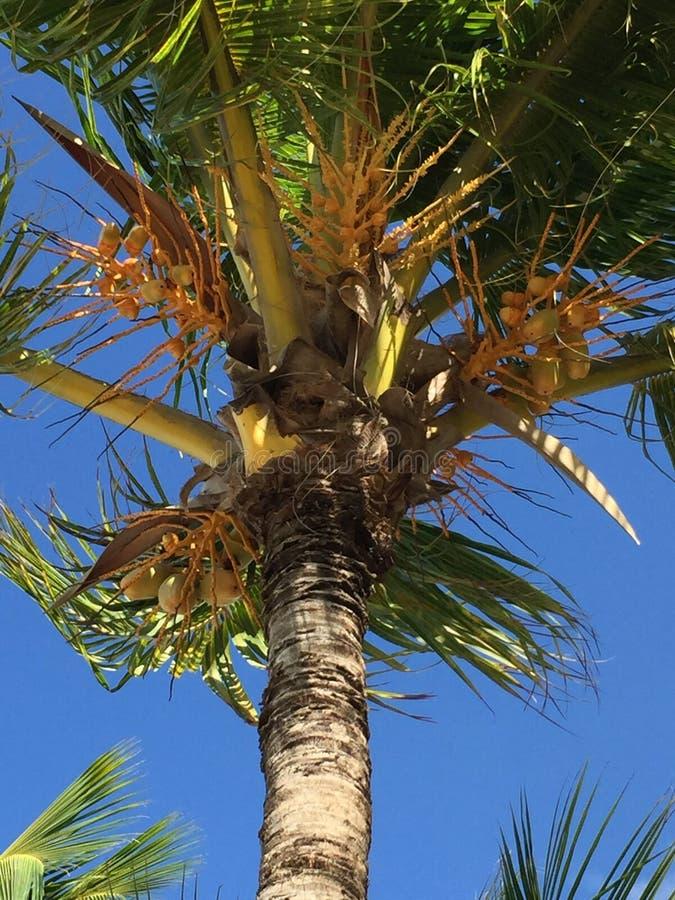 椰子本质掌上型计算机tailand结构树 免版税图库摄影