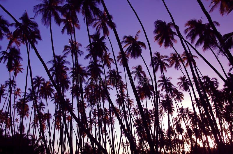 椰子树丛日落 图库摄影