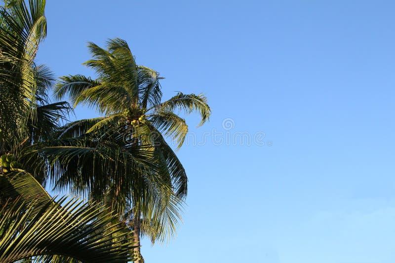 椰子树和蓝天 免版税图库摄影