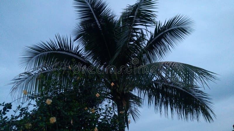 椰子树在奥里萨邦 免版税图库摄影