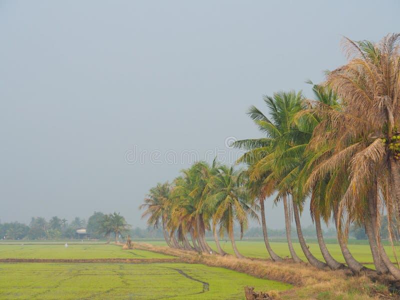 椰子树行在步行的在泰国乡下,与农村生活,自然的概念的早晨轻的雾的米领域, 库存照片