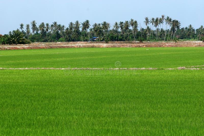椰子领域稻结构树 免版税库存照片