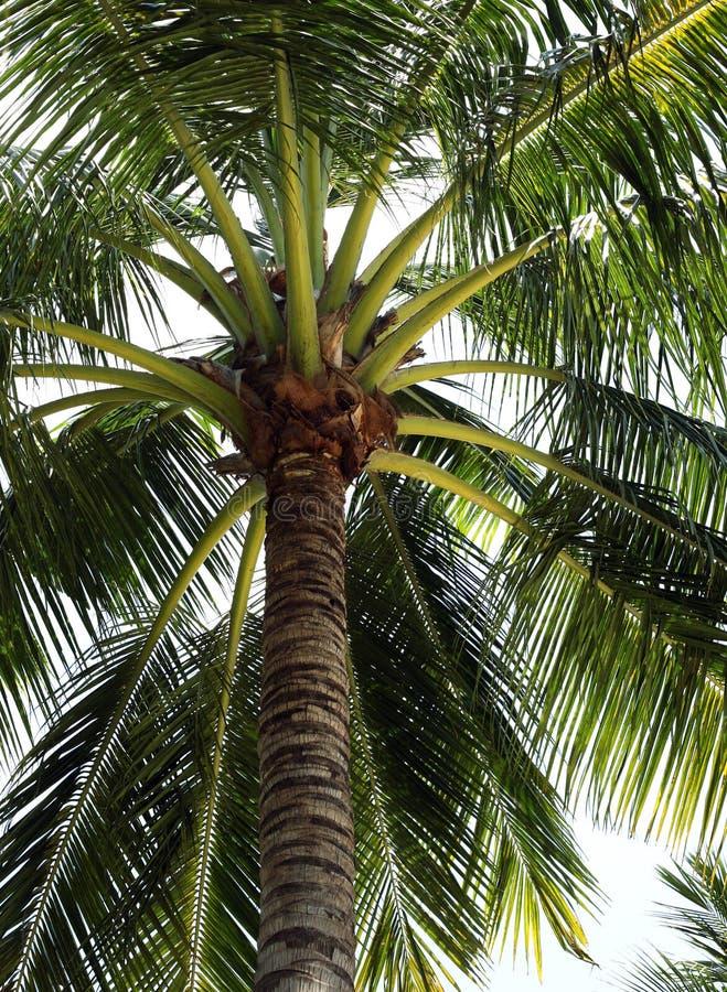 椰树结构树 免版税库存照片