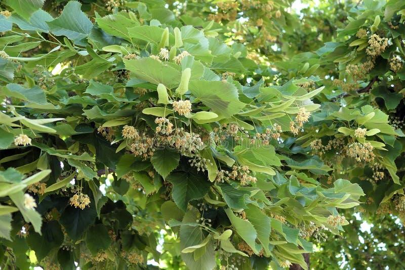 椴树椴树属开花在科孚岛希腊 免版税库存照片