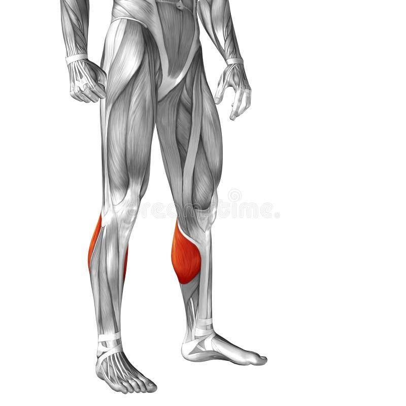 概念性3D人的前面更低的腿肌肉解剖学 库存例证