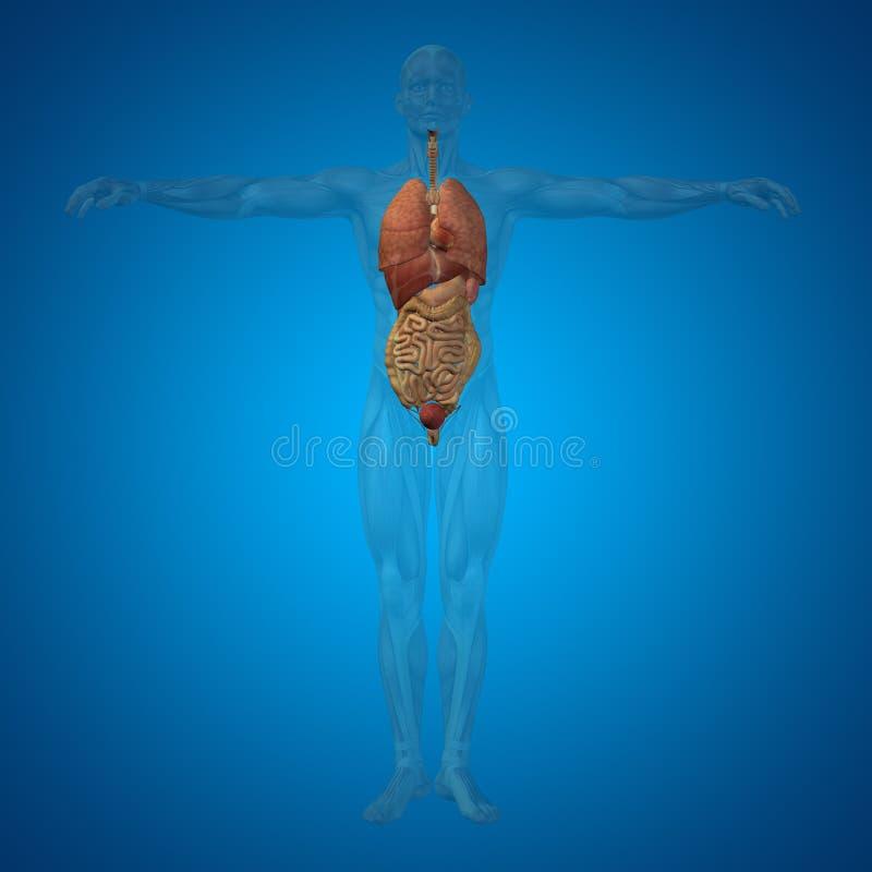 概念性3D人,内脏,消化,肺,循环系统 向量例证