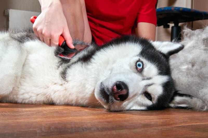 概念每年蜕变,流洒的外套,蜕变的宠物 修饰绒毛狗 男孩梳从西伯利亚爱斯基摩人的羊毛 免版税库存照片