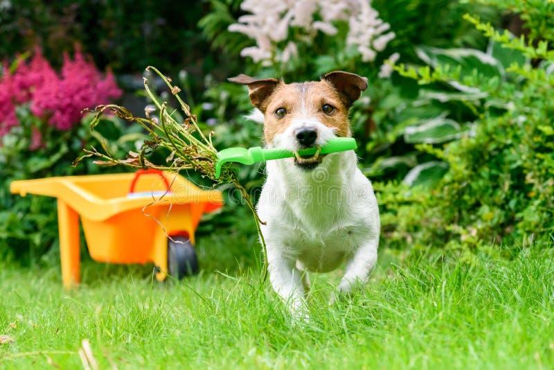 概念的开放和安全宠物的从事园艺与与犁耙的狗清洗的杂草 免版税图库摄影