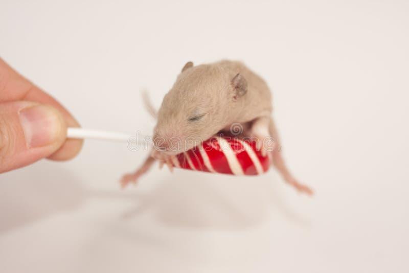 概念的美味 老鼠用糖果 新出生的鼠用糖果 免版税库存照片
