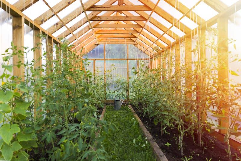 概念从事园艺 生长蕃茄自舒适家庭温室 免版税库存图片