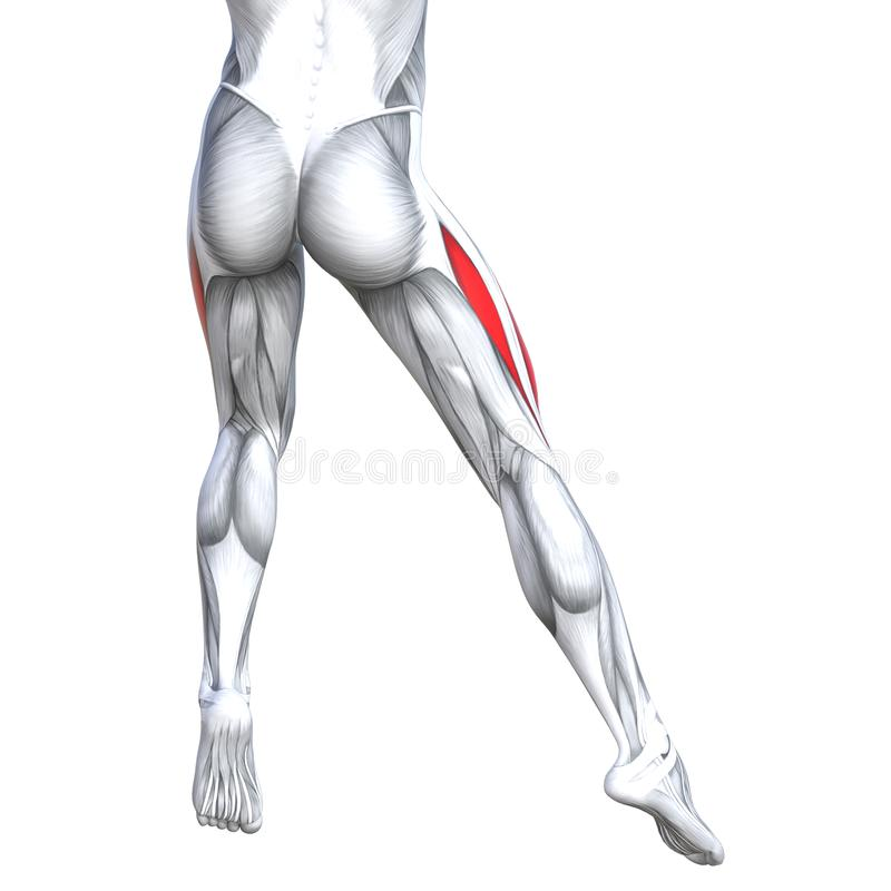 概念3D例证后面上部腿人解剖学 库存例证
