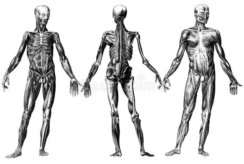 概要人力的肌肉 皇族释放例证