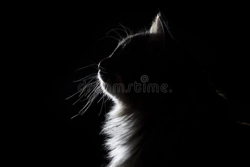 概述美丽的蓬松猫剪影画象在黑背景的 免版税图库摄影
