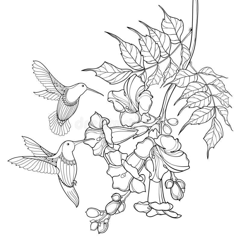 概述黑色Campsis radicans或喇叭藤花束传染媒介垂悬的在白色背景隔绝的分支和蜂鸟 向量例证
