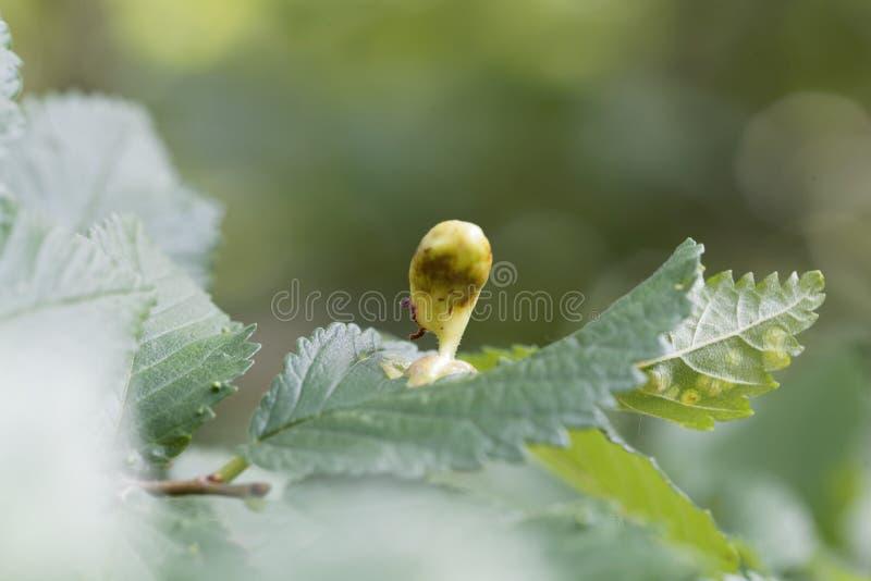 榆木大袋胆汁蚜虫Tetraneura ulmi的胆汁 免版税库存照片