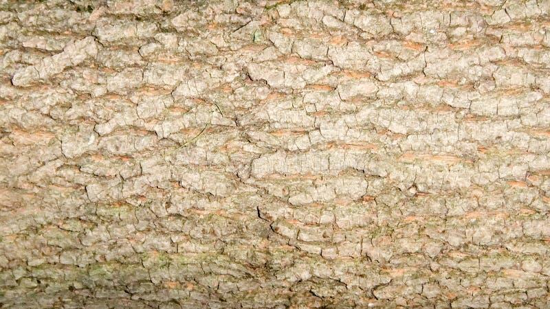 榆木或aragach福托年轻好树皮在春天 粗砺的折叠,自然纹理 免版税库存图片