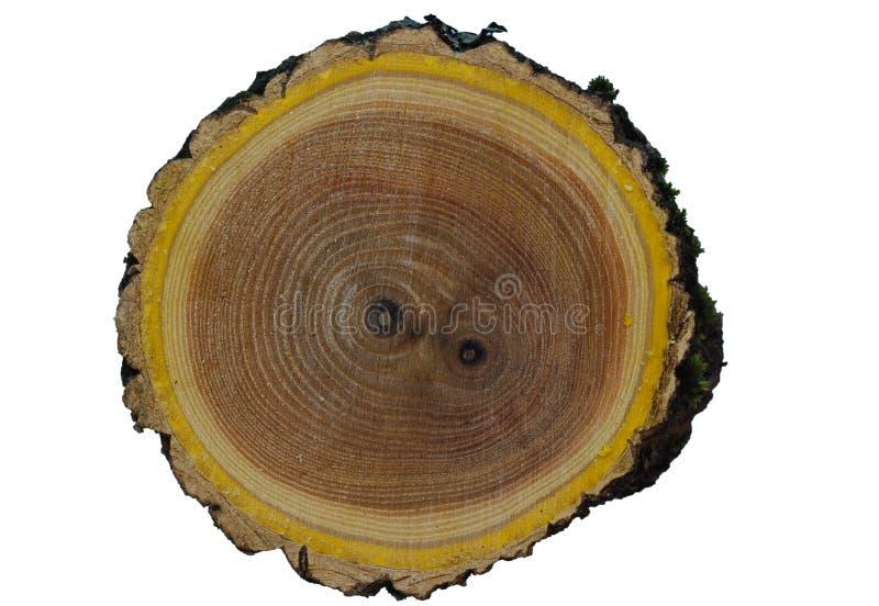 榆木木头纹理 免版税库存照片