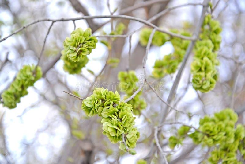 榆木矮胖的榆树pumila L的未成熟的果子 库存照片