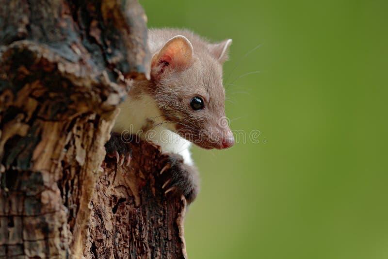 榉貂,细节画象 在树干在森林野生生物场面,波兰的小食肉动物的开会 美丽的逗人喜爱的森林a 免版税图库摄影