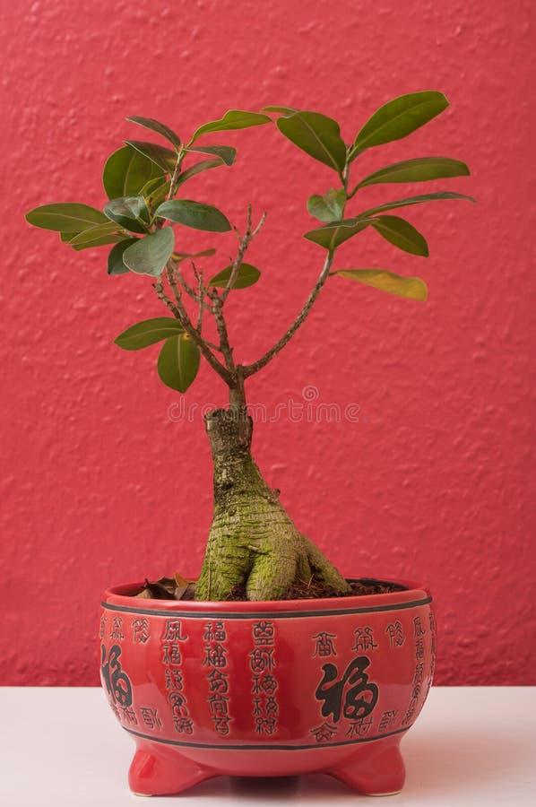 榕属在红色中国罐的retusa盆景 免版税库存照片