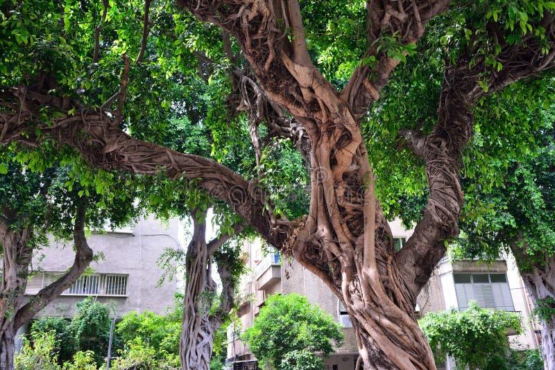 榕属巨大的树在街道上的在特拉维夫 库存照片