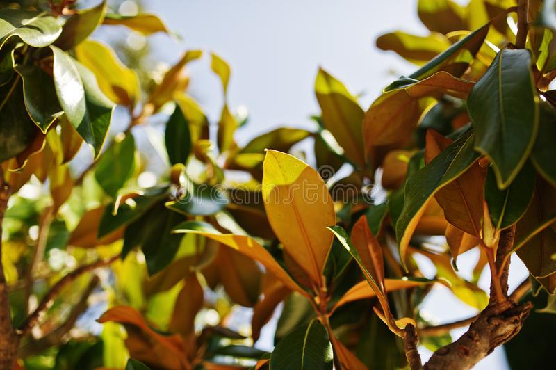 榕属植物充满活力的绿色热带叶子特写镜头照片  库存图片